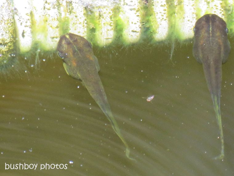 tadpoles_bleating tree frog_named_home_sept 2018