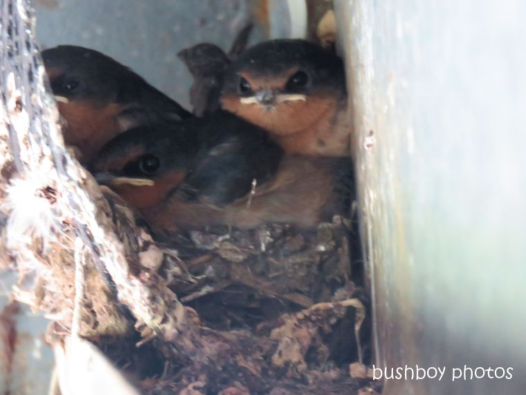 welcome swallow_young_three_nest_named_caniaba_sept 2018