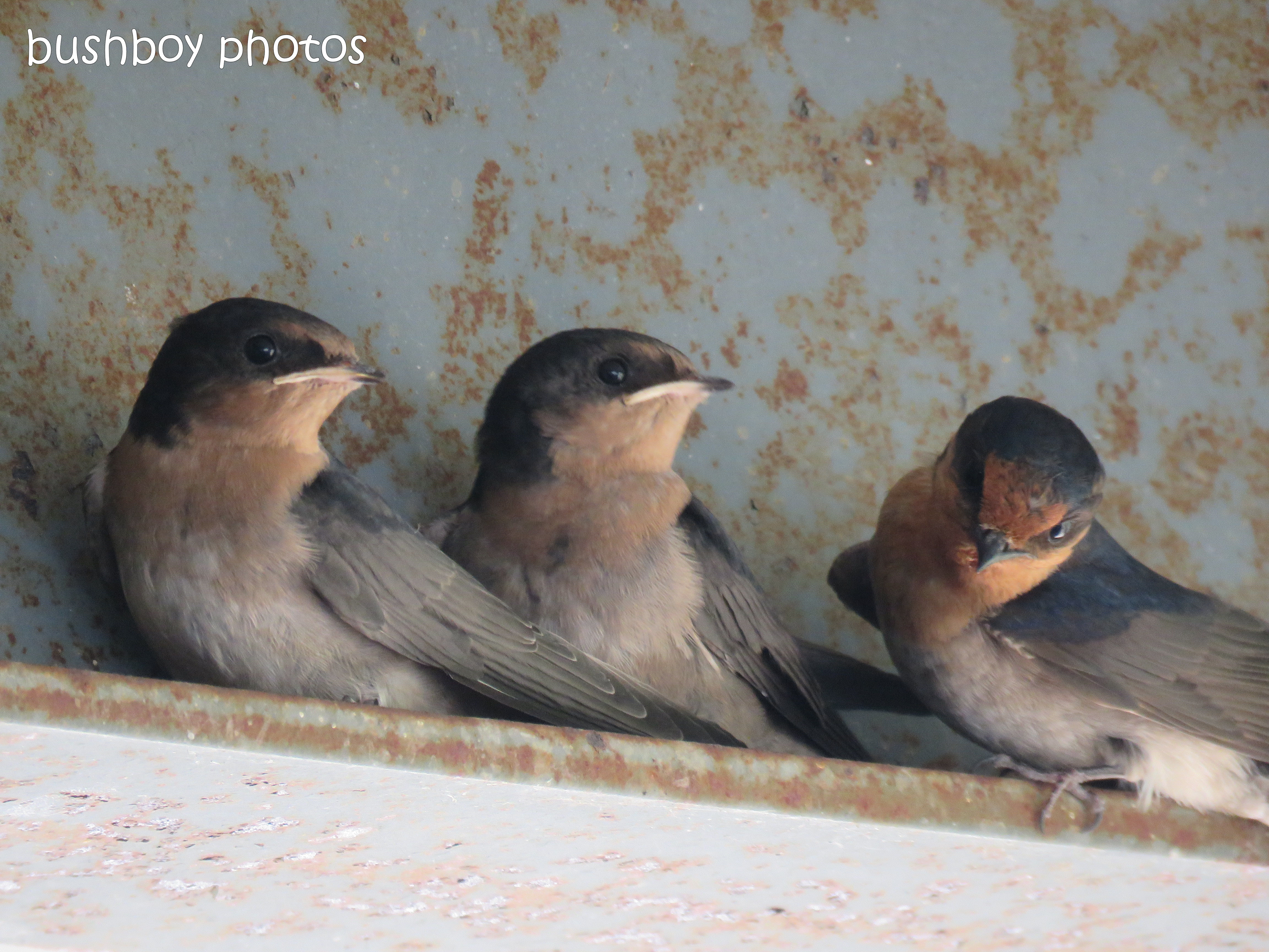 welcome swallows_feed_time1_named_caniaba_oct 2018