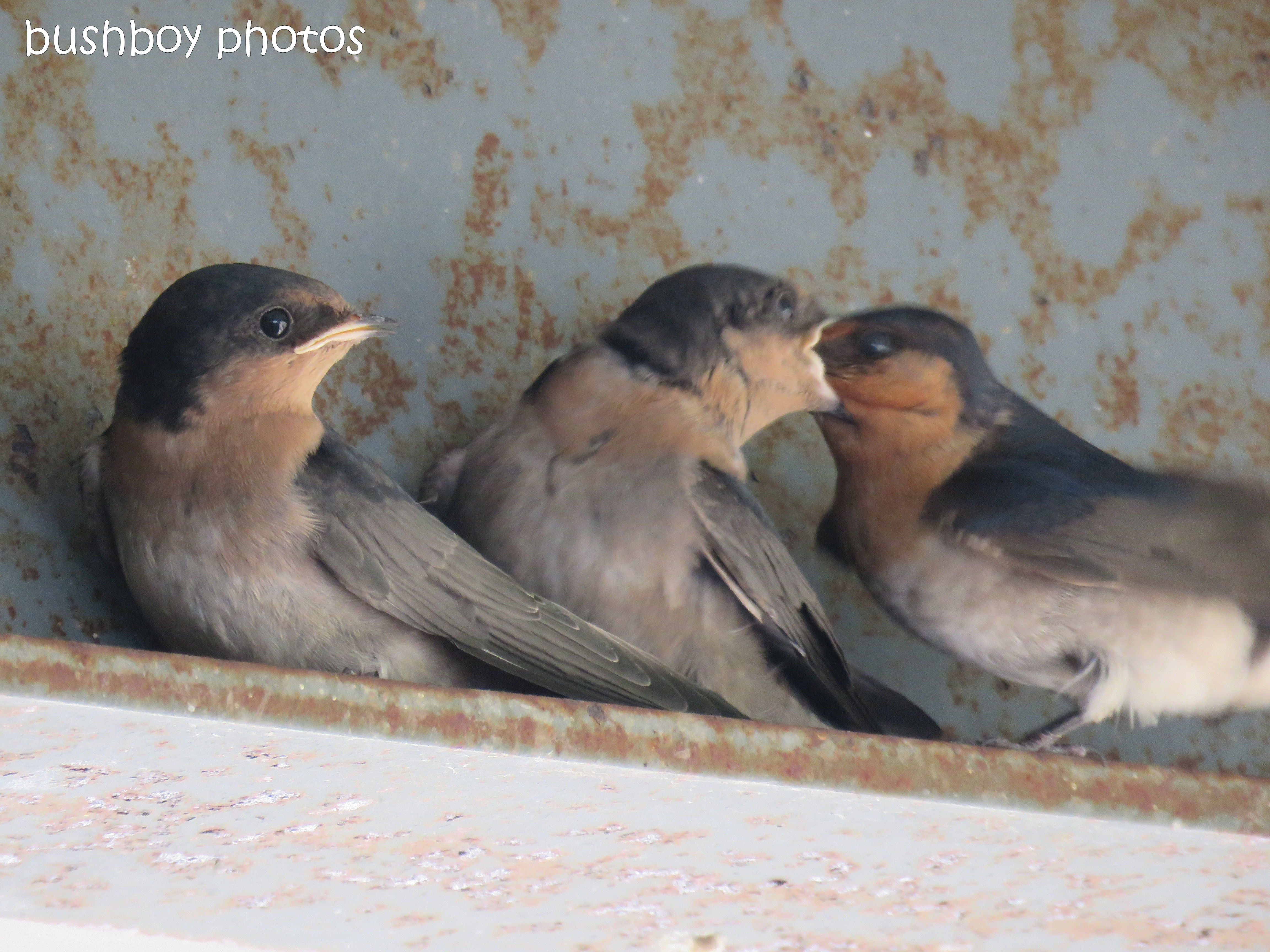 welcome swallows_feed_time2_named_caniaba_oct 2018
