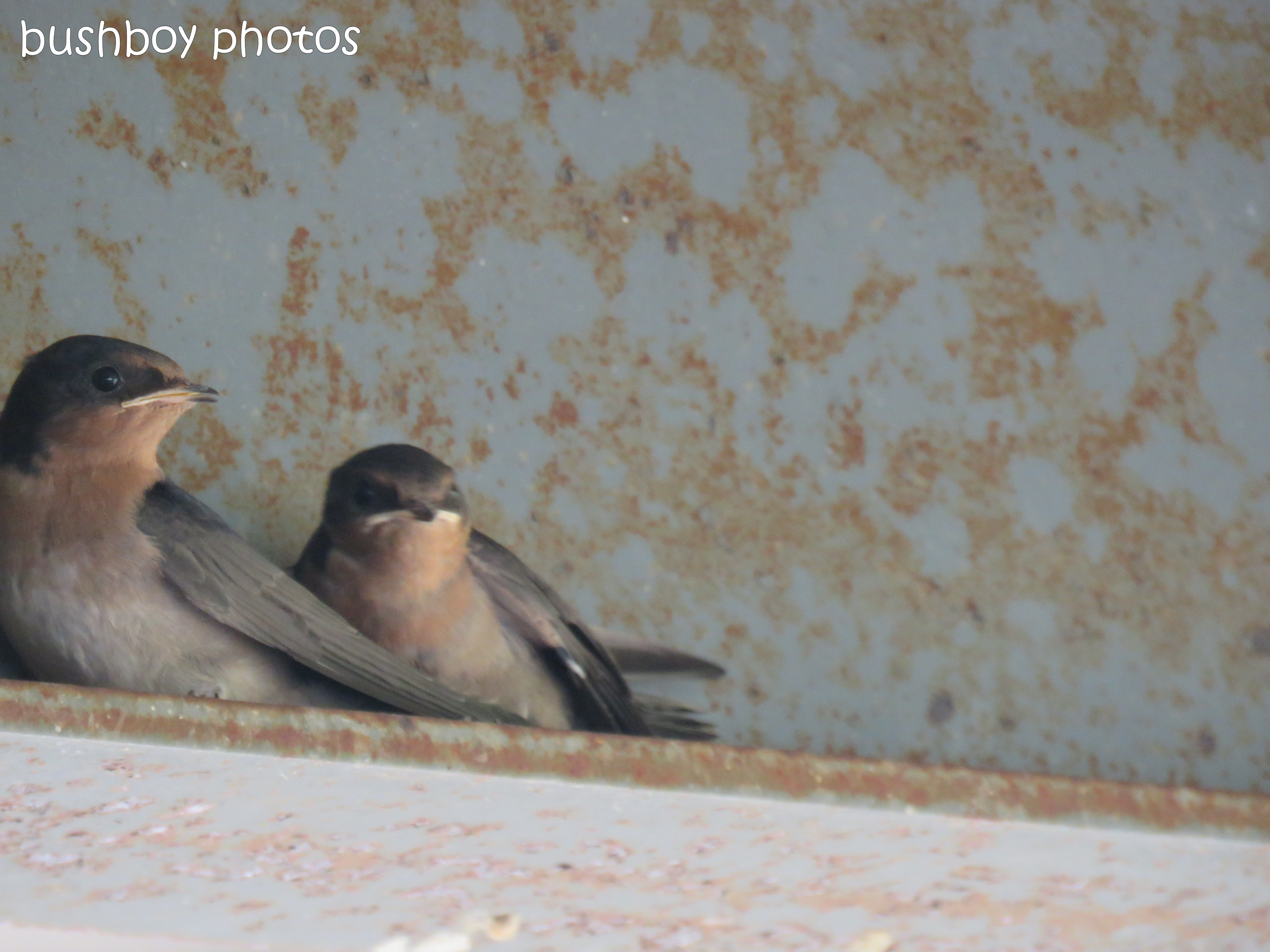 welcome swallows_feed_time3_named_caniaba_oct 2018