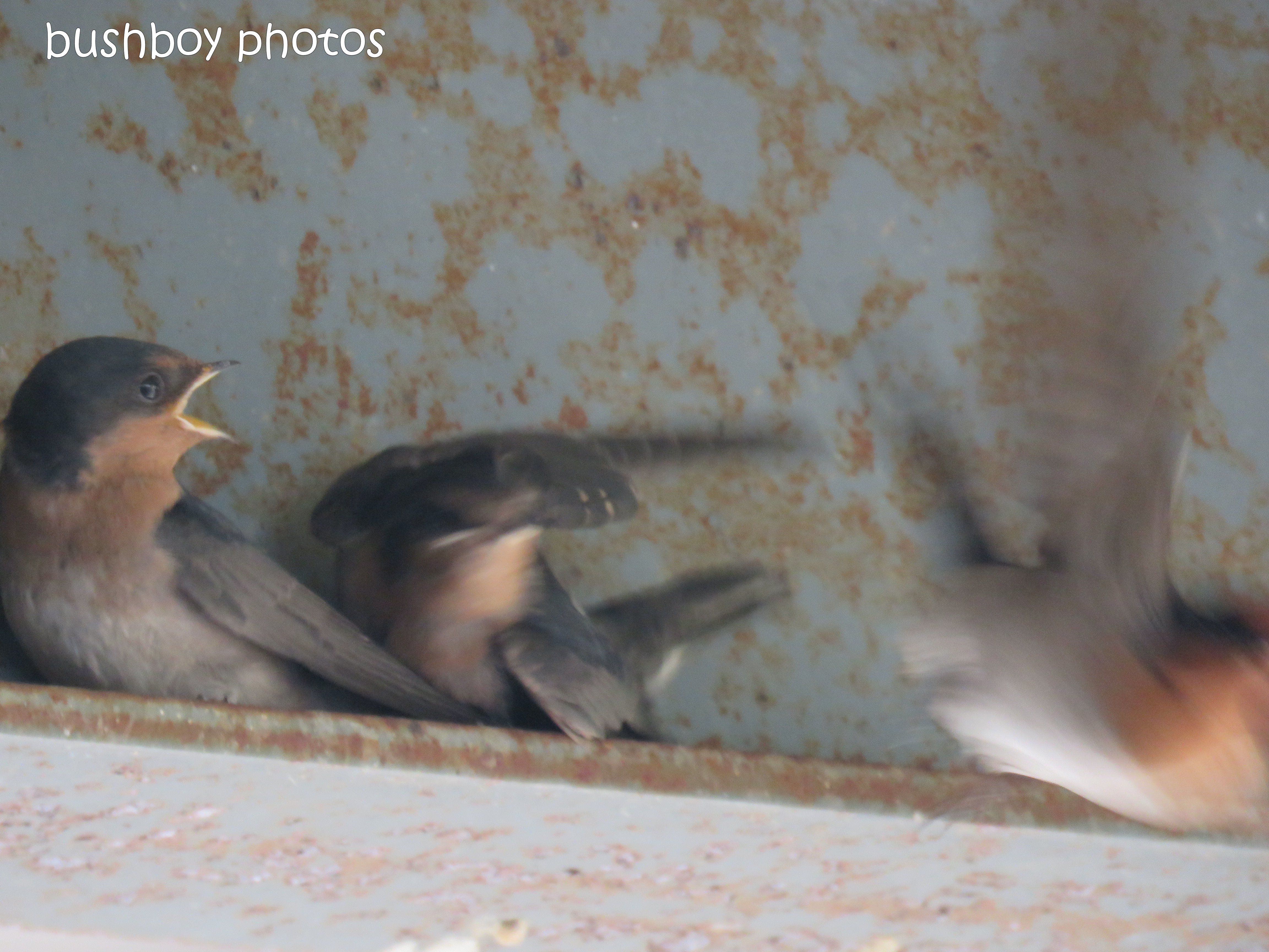 welcome swallows_feed_time4_named_caniaba_oct 2018