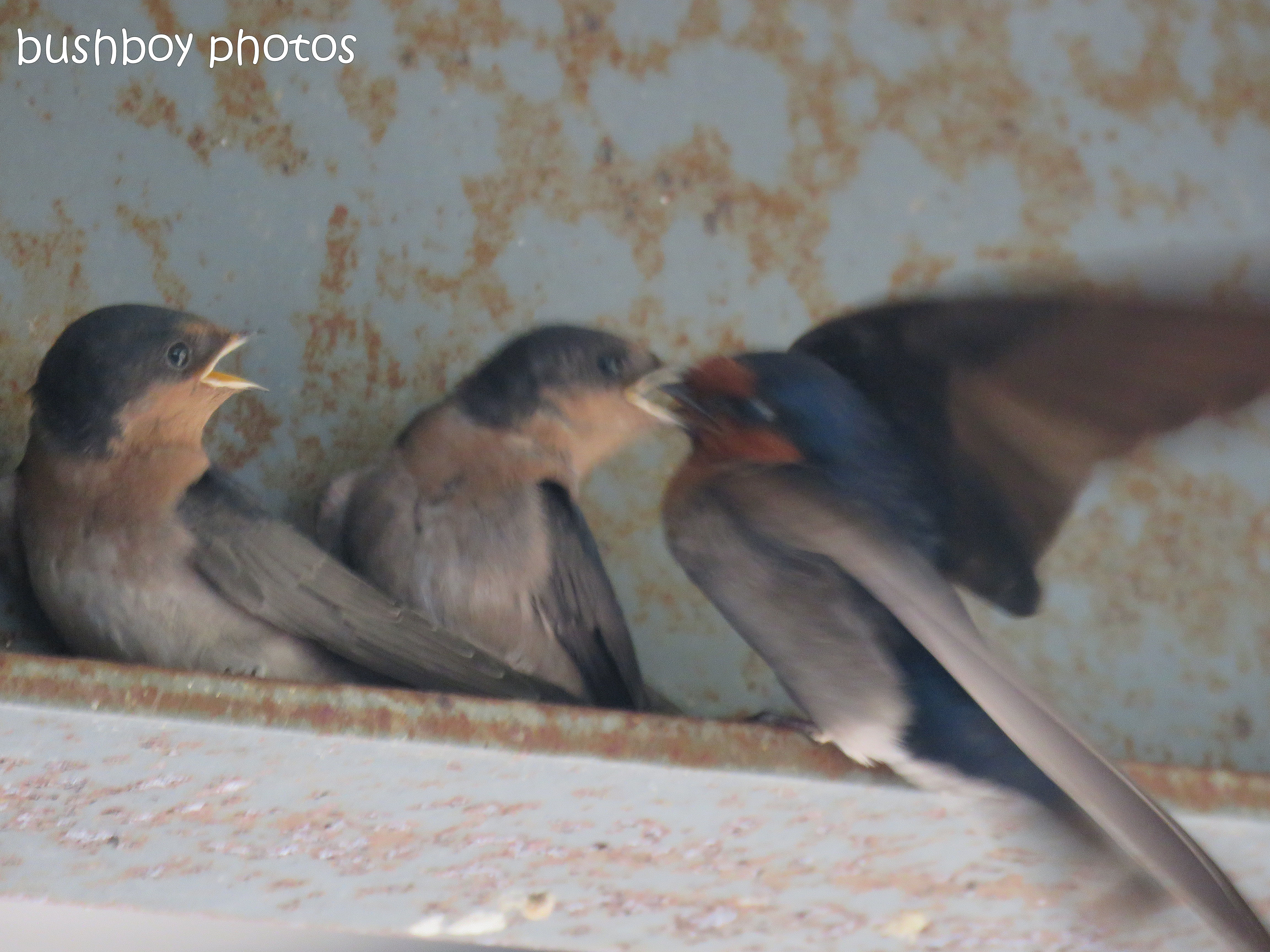 welcome swallows_feed_time5_named_caniaba_oct 2018