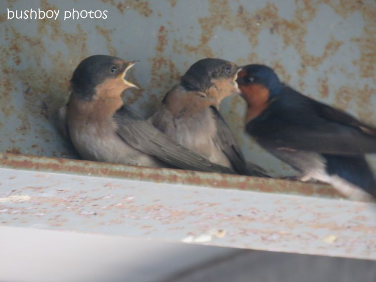 welcome swallows_feed_time6_named_caniaba_oct 2018