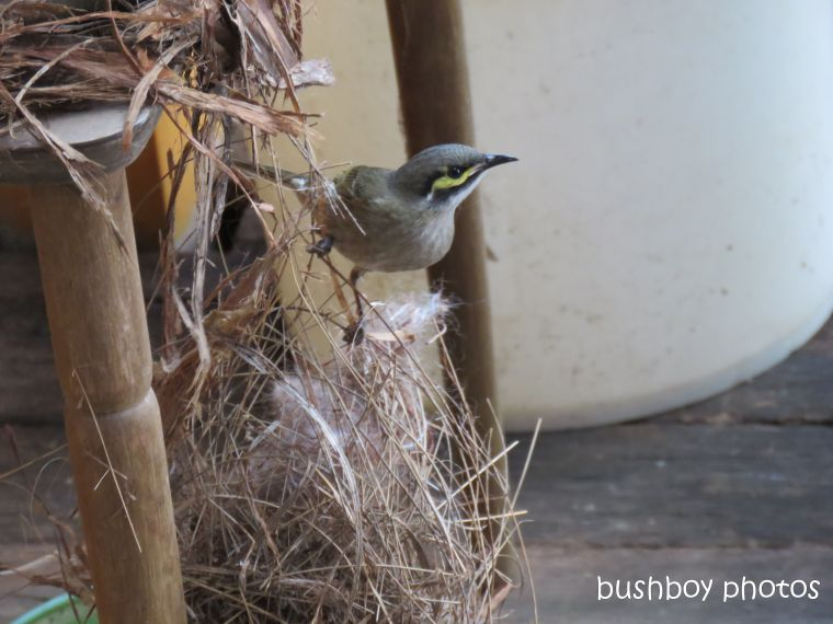 yellow faced honeyeater_nest_material_named_home_sept 2018