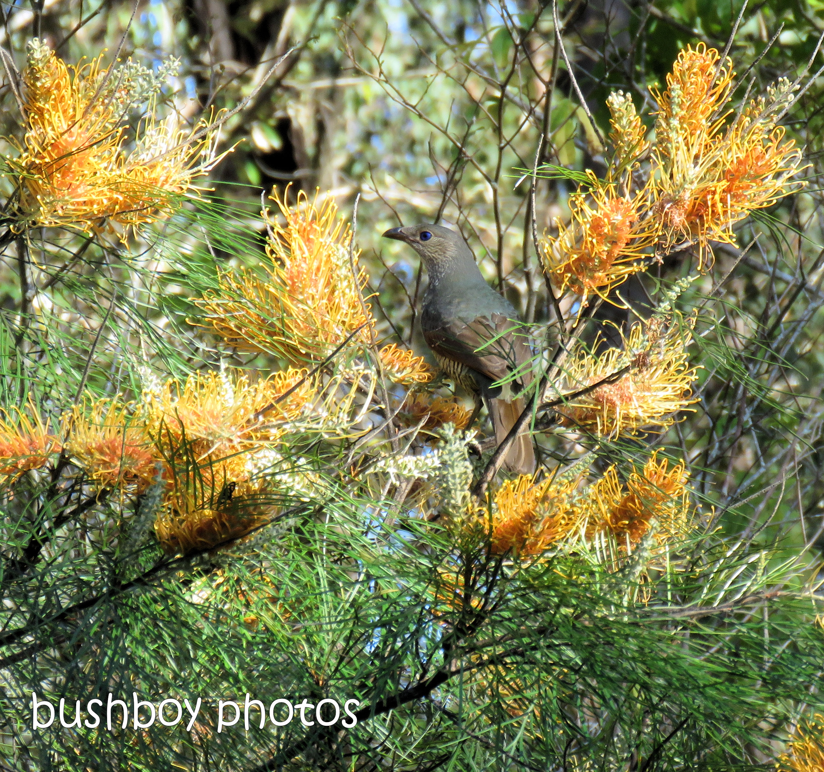 181031_wordless_wednesday_satin bower bird_honeygem