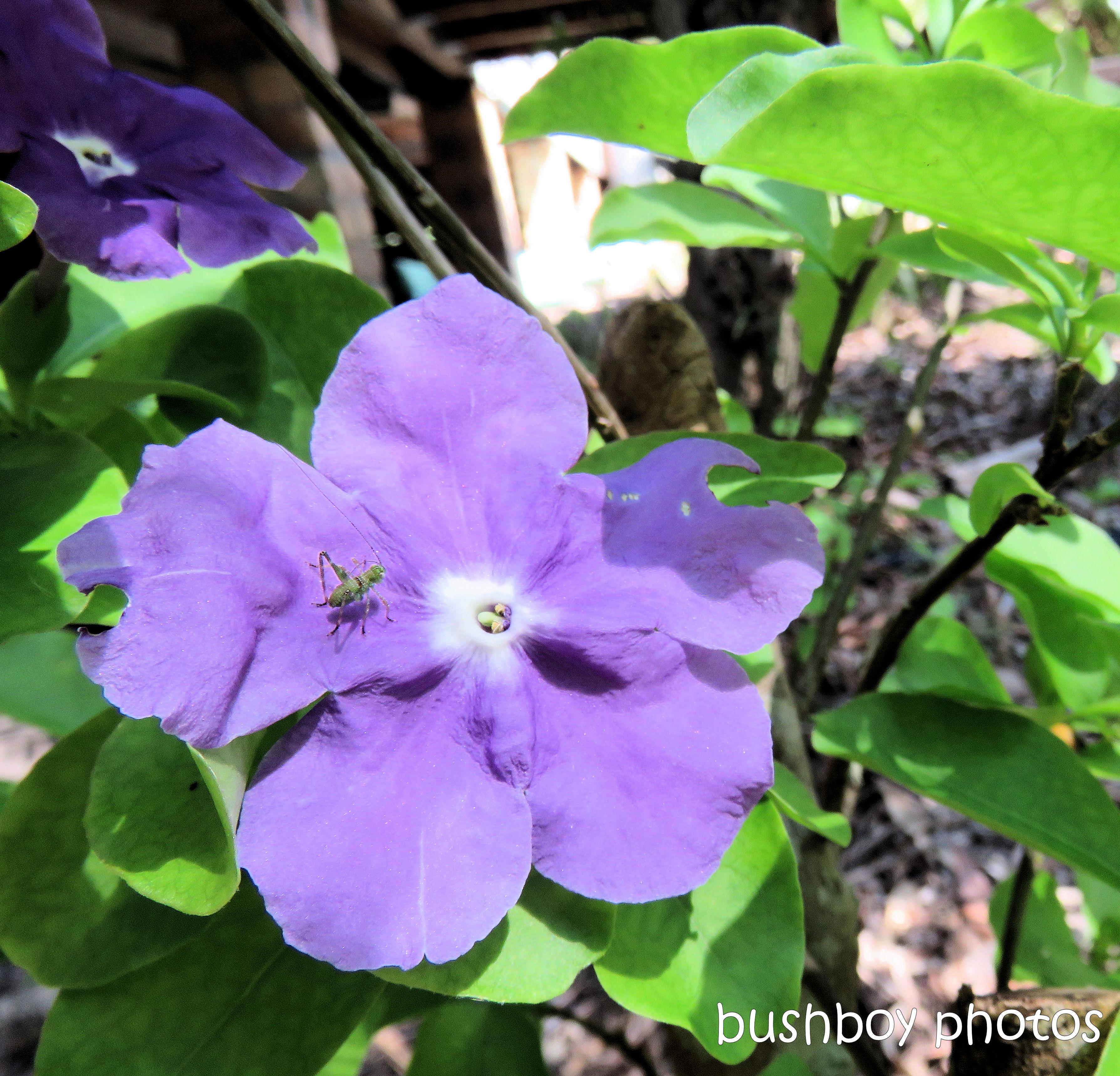 181101_blog challenge_flowers_brunsfelsia_grasshopper