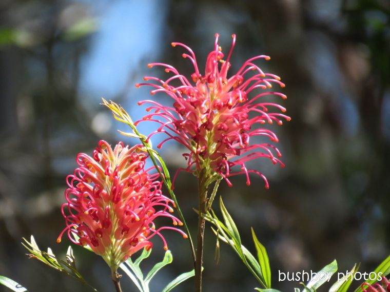 181101_blog challenge_flowers_grevillea_red
