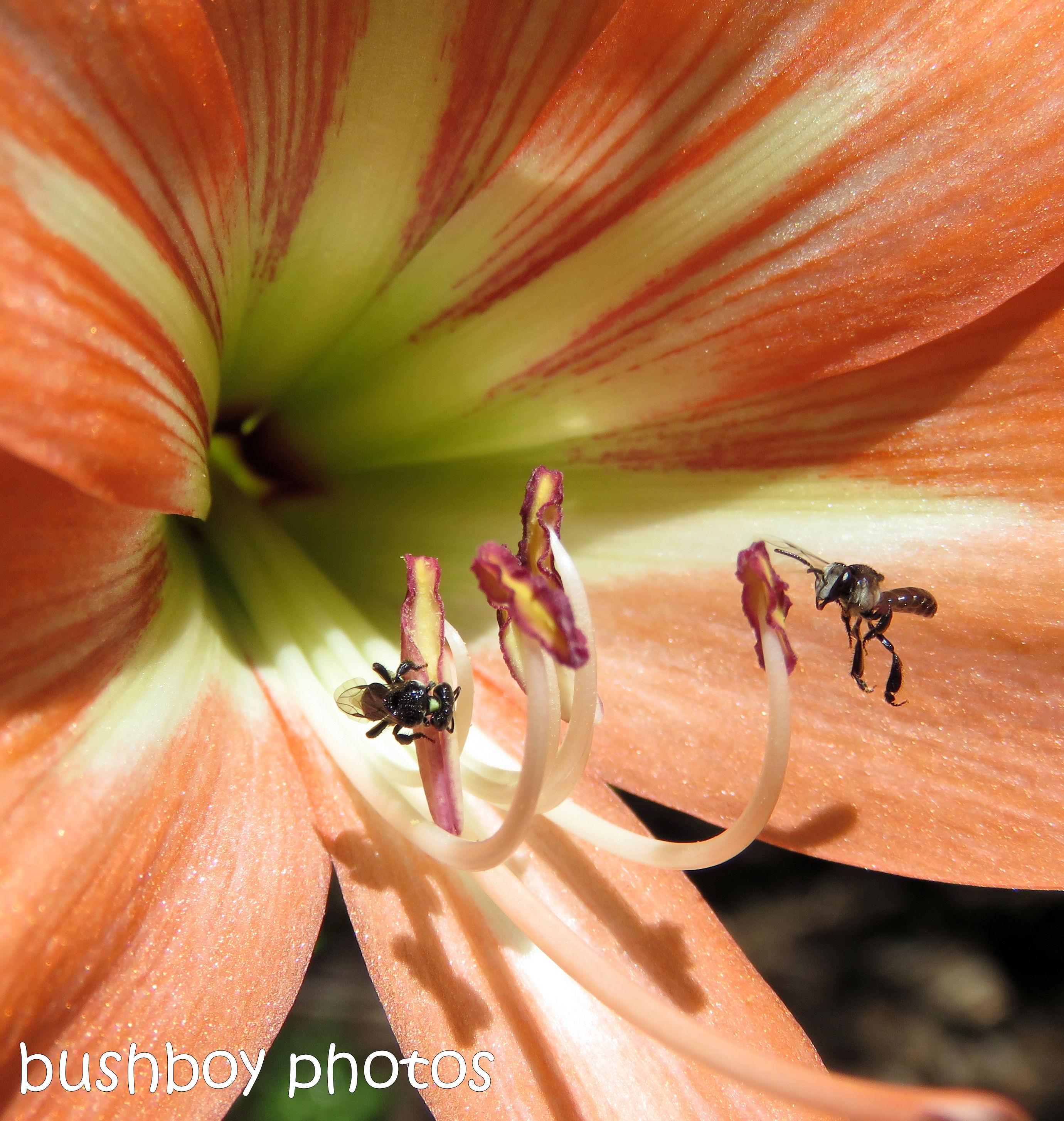 181101_blog challenge_flowers_hippeastrum_stingless_native_bees