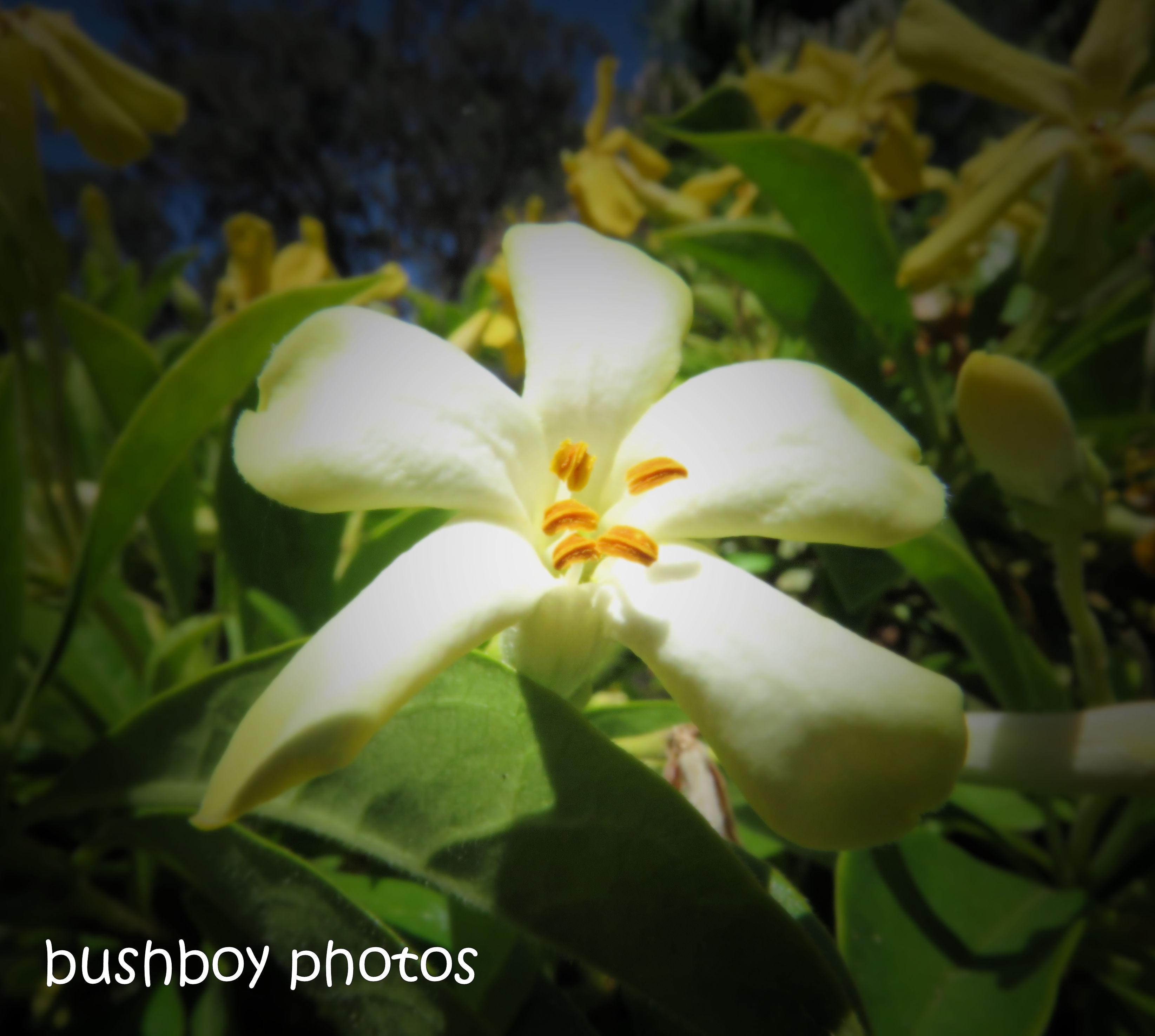 181101_blog challenge_flowers_native frangipanni