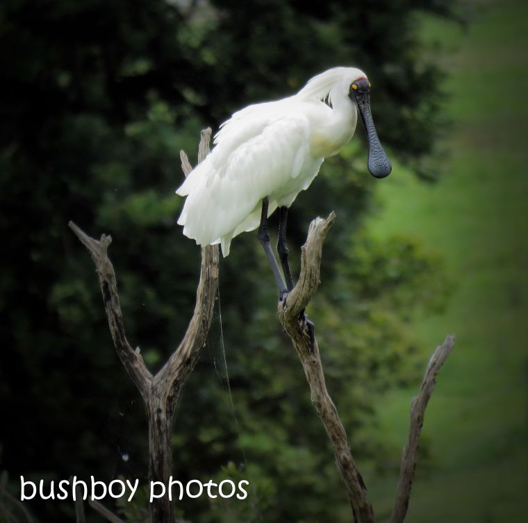 181117_silent-sunday_royal-spoonbill_lawrence-wetland