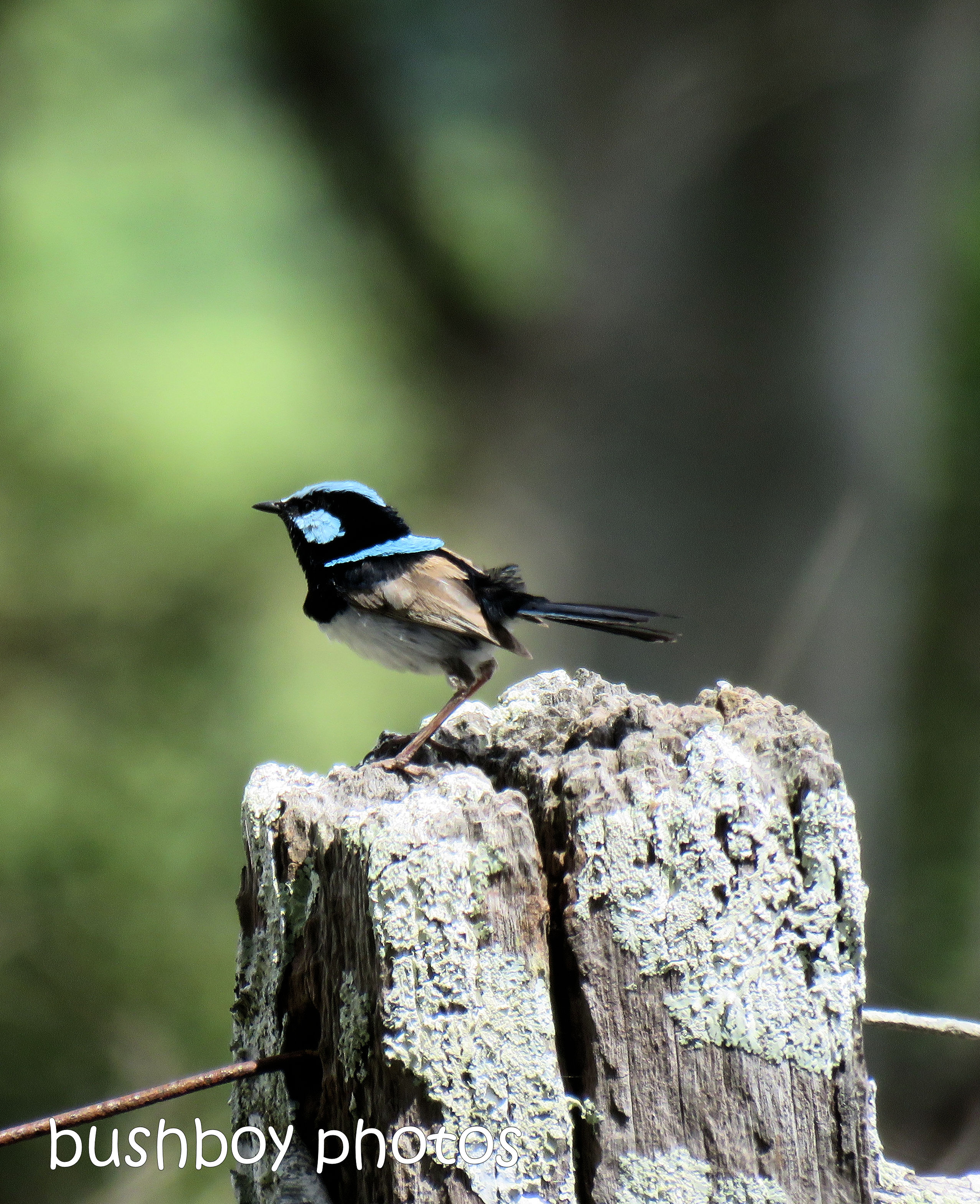 181126_blog challenge_blue_superb fairy wren