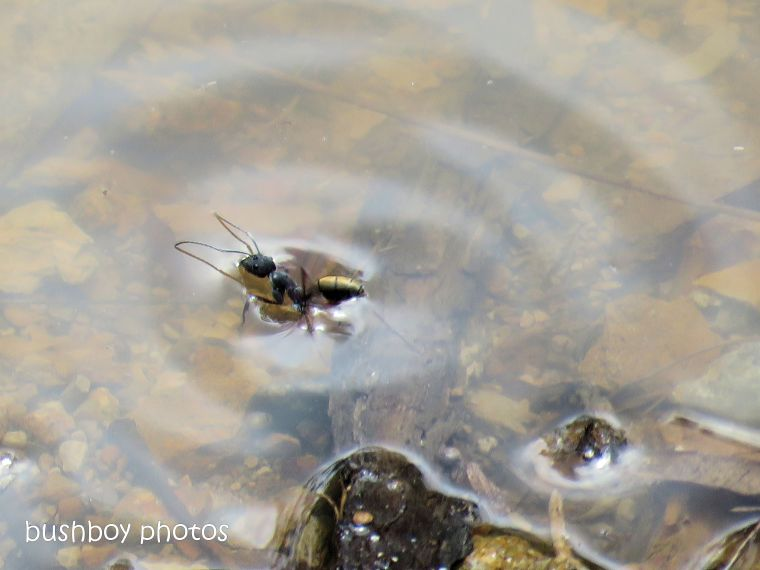 ant_swimming_dam_named_home_oct 2018