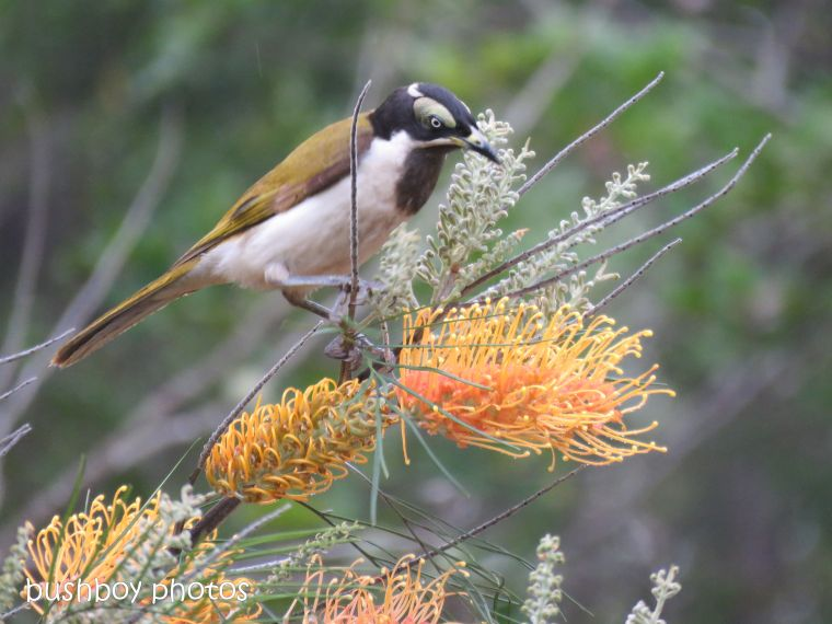blue faced honeyeater_honey gem_female_grevillea_named_home_oct 2018