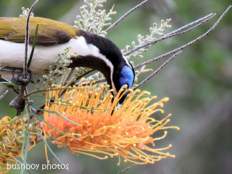 blue faced honeyeater_honey gem_grevillea_named_home_oct 2018