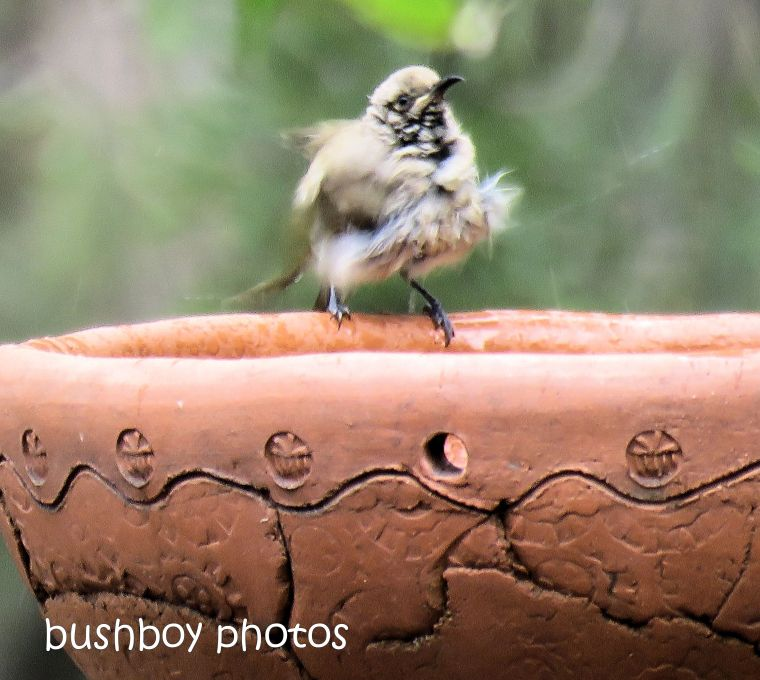 brown honeyeater_bird bath_named_home_oct 2018