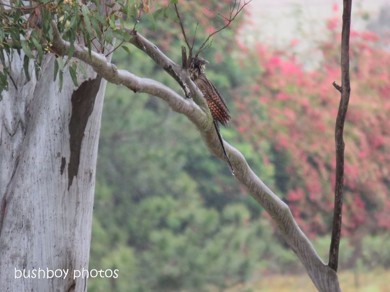 coucal pheasant_named_caniaba_oct 2018