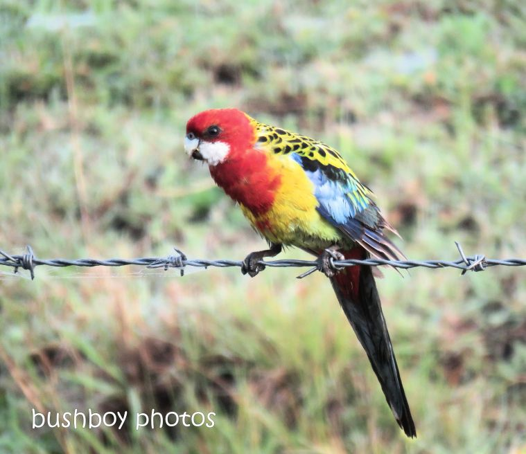 eastern rosella_named_caniaba_oct 2018