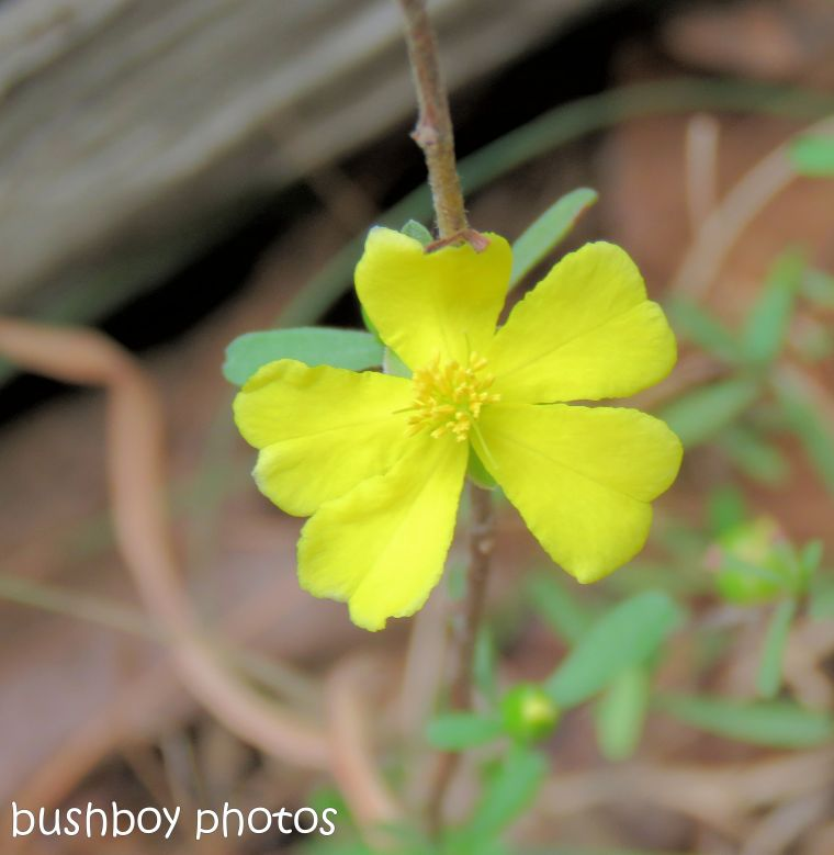 flower_native_yellow_waterhole_named_home_oct 2018