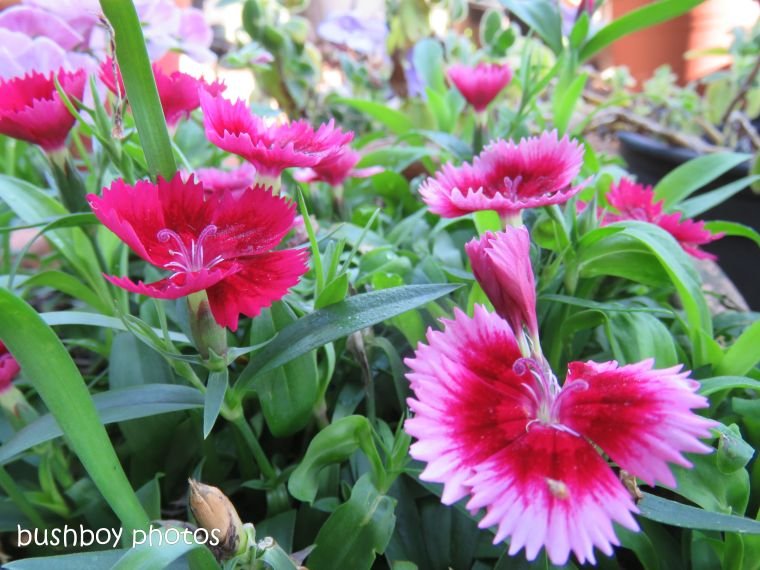 flowers_pink_red_named_caniaba_oct 2018