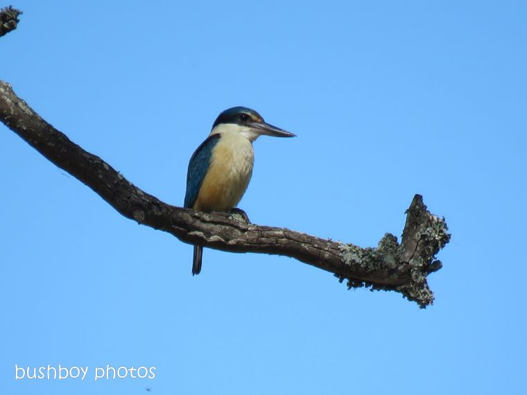 forest kingfisher_front_named_caniaba_oct 2018