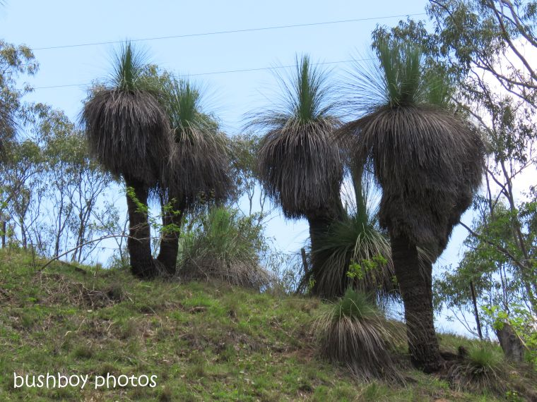 grass trees_named_naughtons gap_oct 2018