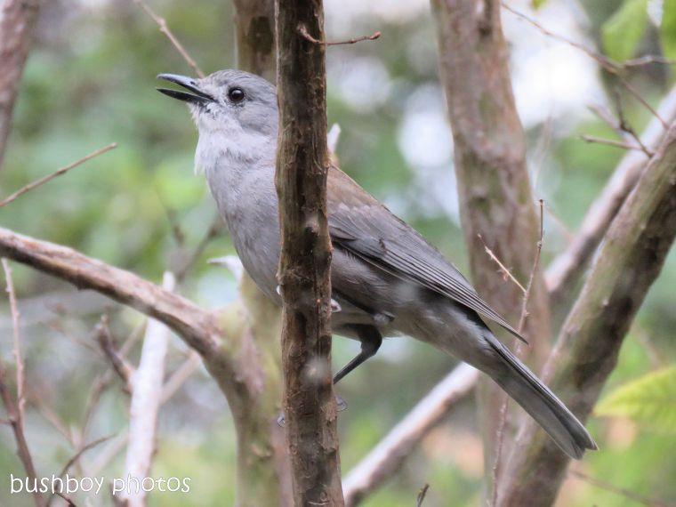 grey shrike thush_named_home_oct 2018