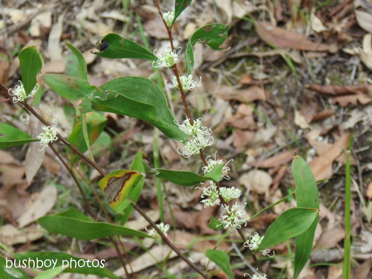 hakea florulenta_stem_named_home_oct 2018