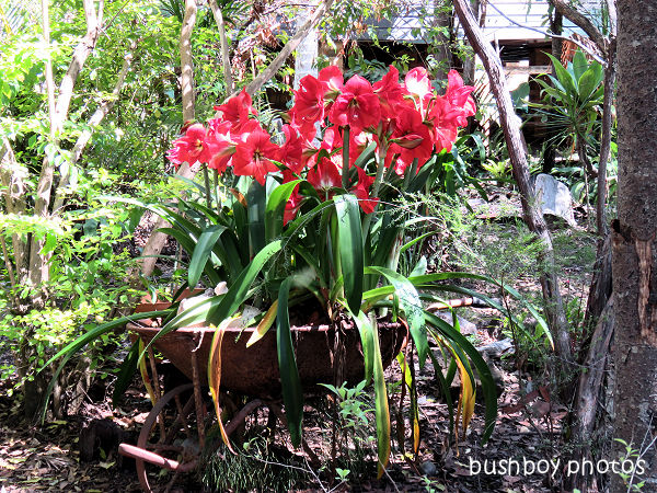 hippeastrum_red_wheelbarrow1_named_home_nov 2018