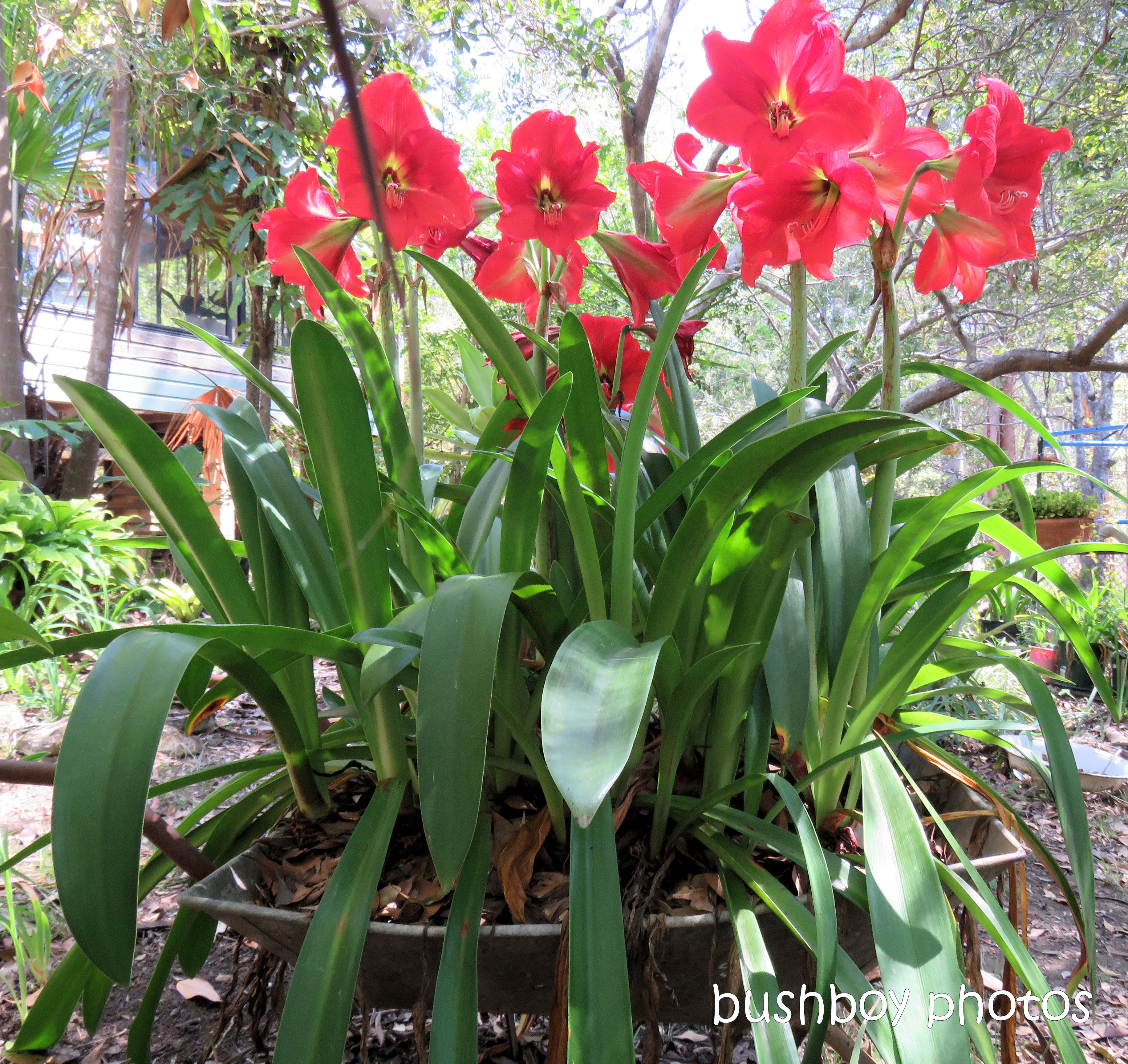 hippeastrum_red_wheelbarrow21_named_home_nov 2018