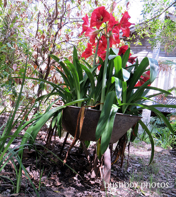 hippeastrum_red_wheelbarrow31_named_home_nov 2018
