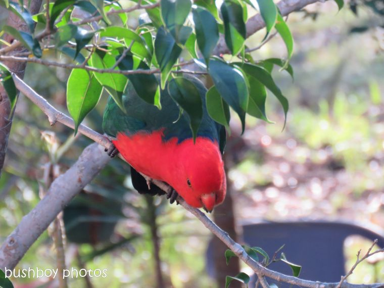 king parrot_looking_named_home_oct 2018
