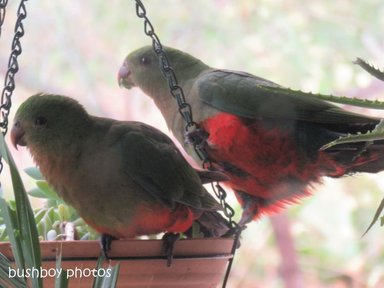 king parrots_young_succulent_named_home_oct 2018