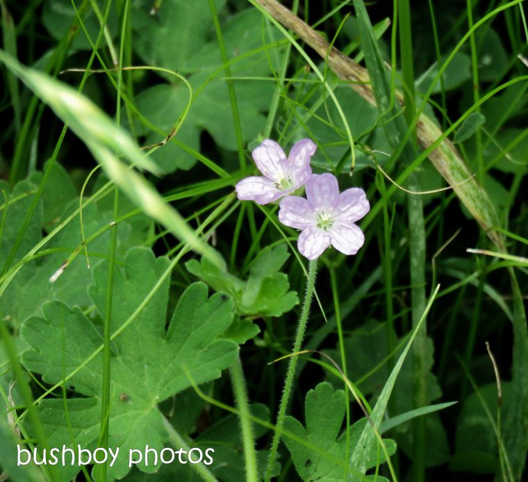 native geranium_named_caniaba_oct 2018