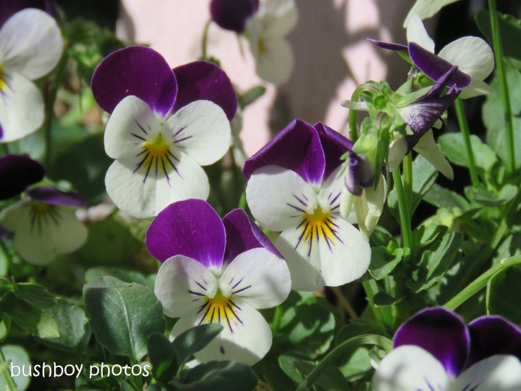 pansies1_named_caniaba_oct 2018