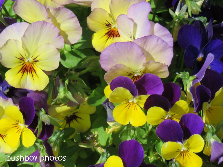 pansies2_named_caniaba_oct 2018