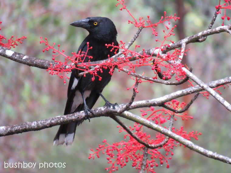 pied currawong_flame tree_named_home_oct 2018