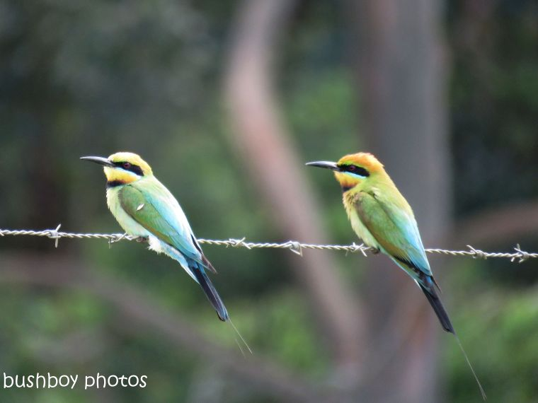 rainbow bee eaters_rambaldini rd_naughtons gap_named_oct 2018