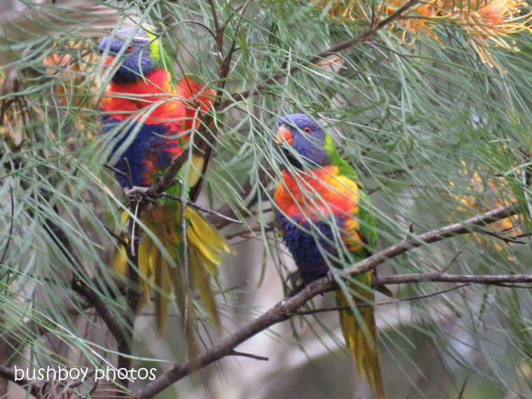 rainbow lorikeets_honey gem_grevillea_named_home_oct 2018