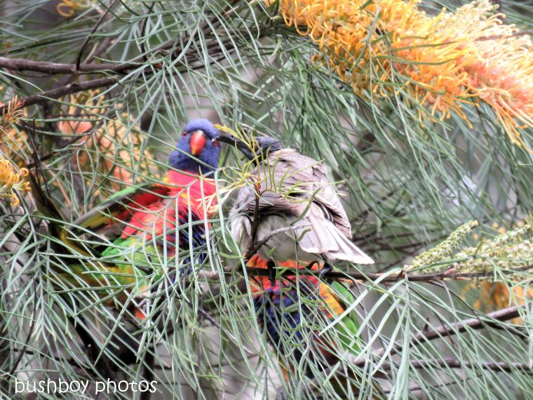 rainbow lorikeets_noisy friar bird_honey gem_grevillea_fight_named_home_oct 2018