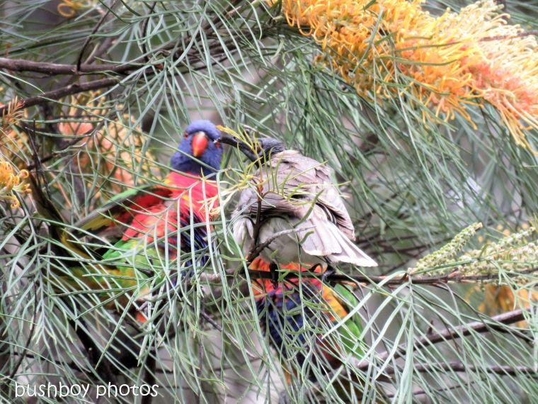rainbow lorikeets_noisy friar bird_honey gem_grevillea_fight_named_home_oct 2018