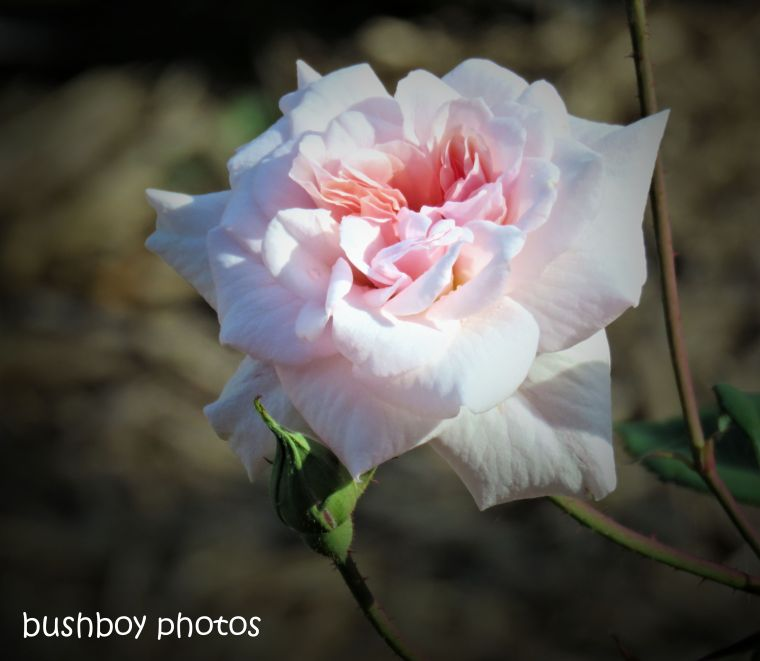 rose_pink_named_caniaba_oct 2018