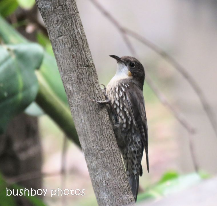white throated treecreeper_named_home_oct 2018