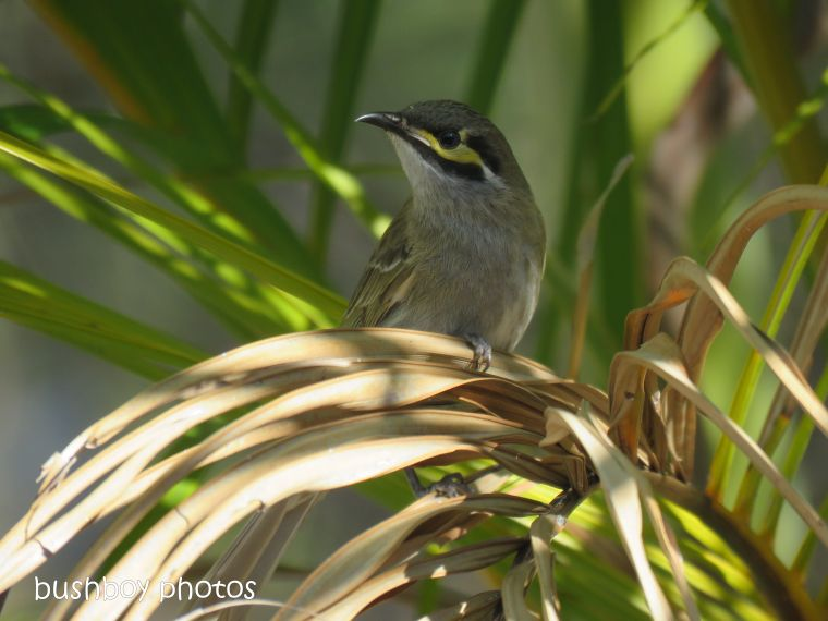 yellow-faced honeyeater_named_home_oct 2018