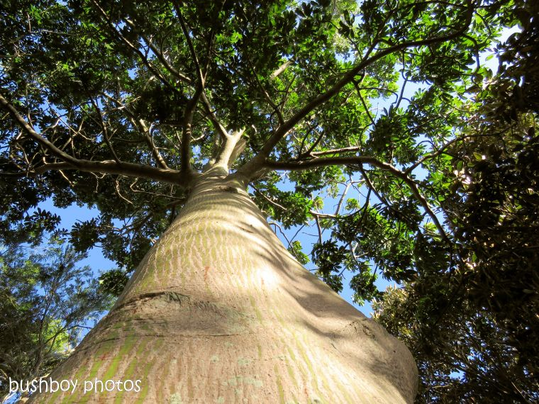 181211_blog challenge_trees_fig_tree_ballina