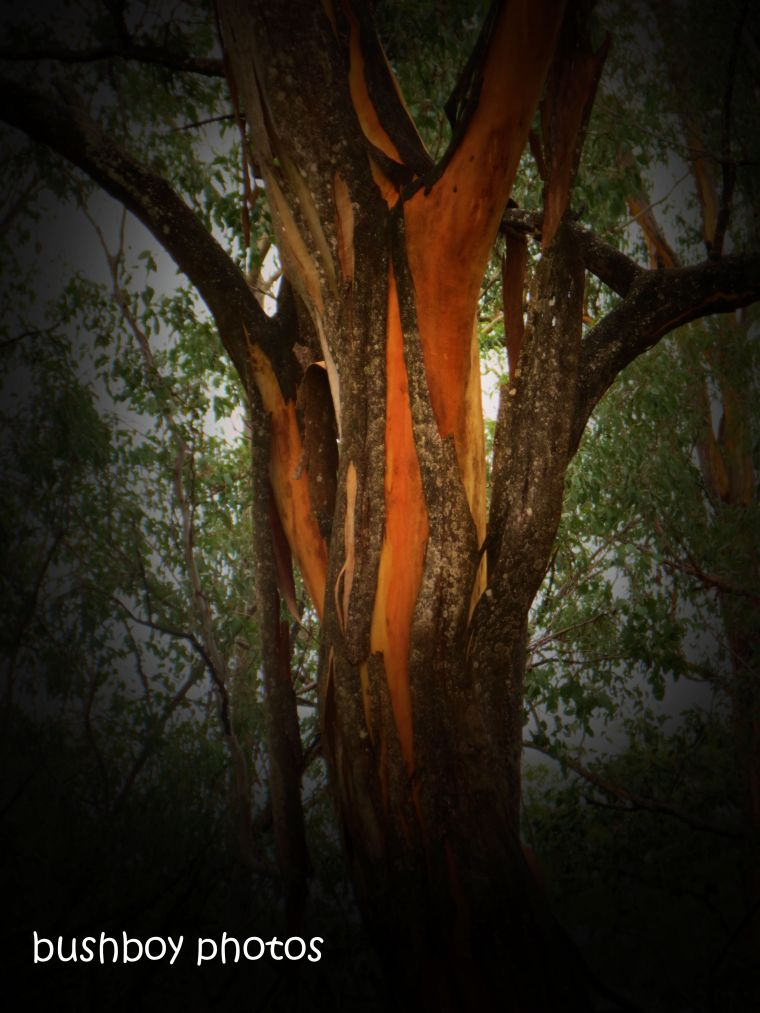 181211_blog challenge_trees_orange_bark_shedding