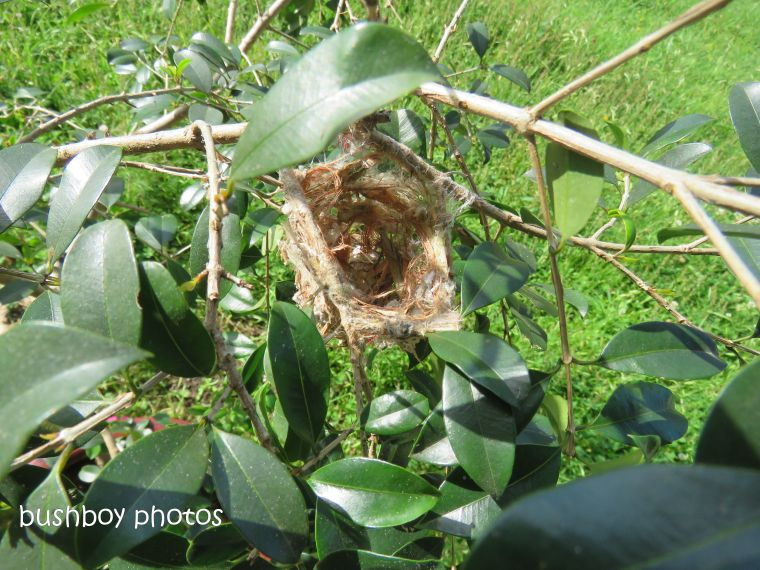 181214_brown honeyeater_nest_construction2