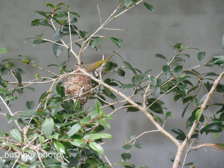 181214_brown honeyeater_nest_construction4_spotted