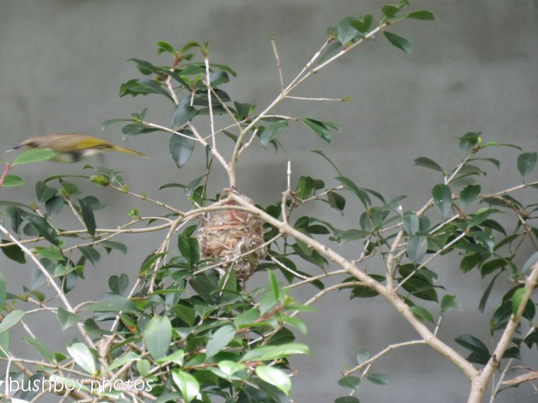 181214_brown honeyeater_nest_construction5_flying