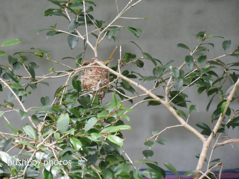 181214_brown honeyeater_nest_construction7_egg_laying